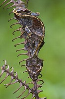Fantastic Leaf-tail Gecko (Uroplatus phantasticus) becomes virtually invisible thanks to its leaf-li