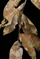 Sphinx Moth (Clanis stenosema) camouflaged agains dead leaves, Mulu National Park, Malaysia