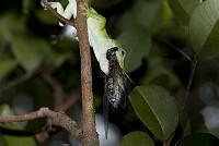 グリーンアノール オガサワラゼミを捕食 [Anolis,carolinensis]