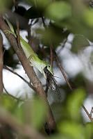 オガサワラゼミを捕食するグリーンアノール [Anolis,carolinensis]