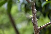 外来種のグリーンアノール [Anolis,carolinensis]