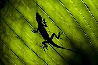 オガサワラビロウの葉にひそむグリーンアノール [Anolis,carolinensis]