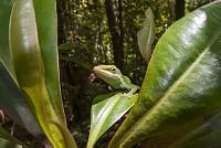 葉にひそんで獲物を狙うグリーンアノール [Anolis,carolinensis]