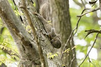 ニホンリス、親子、引っ越し [Sciurus lis,Japanese squirrel,哺乳類,ユーアーコンタグリレス類,脊椎動物,ネズミ目,齧歯目,リス科,動物,リス]