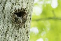 ニホンリス  木の穴から顔をのぞかせた赤ちゃん [Sciurus lis,Japanese squirrel,哺乳類,ユーアーコンタグリレス類,脊椎動物,ネズミ目,齧歯目,リス科,動物,リス]