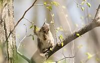 ニホンリス、新芽を食べる [Sciurus lis,Japanese squirrel,哺乳類,ユーアーコンタグリレス類,脊椎動物,ネズミ目,齧歯目,リス科,動物,リス]