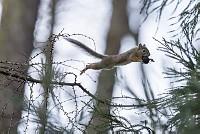 ニホンリス、クルミをくわえてジャンプ [Sciurus lis,Japanese squirrel,哺乳類,ユーアーコンタグリレス類,脊椎動物,ネズミ目,齧歯目,リス科,動物,リス]