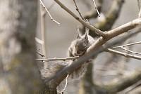 ニホンリスの昼寝 [Sciurus lis,Japanese squirrel,哺乳類,ユーアーコンタグリレス類,脊椎動物,ネズミ目,齧歯目,リス科,動物,リス]