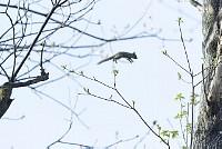 ニホンリス、ジャンプ [Sciurus lis,Japanese squirrel,哺乳類,ユーアーコンタグリレス類,脊椎動物,ネズミ目,齧歯目,リス科,動物,リス]