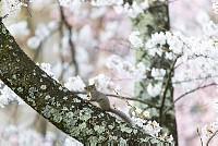ニホンリスと桜 [Sciurus lis,Japanese squirrel,哺乳類,ユーアーコンタグリレス類,脊椎動物,ネズミ目,齧歯目,リス科,動物,リス]
