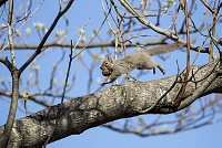 ニホンリス、オニグルミ をくわえて木の上を走る [Sciurus lis,Japanese squirrel,哺乳類,ユーアーコンタグリレス類,脊椎動物,ネズミ目,齧歯目,リス科,動物,リス]