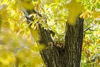 ニホンリス、巣作り [Sciurus lis,Japanese squirrel,哺乳類,ユーアーコンタグリレス類,脊椎動物,ネズミ目,齧歯目,リス科,動物,リス]