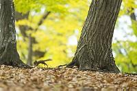 ニホンリス、クルミをくわえて走る [Sciurus lis,Japanese squirrel,哺乳類,ユーアーコンタグリレス類,脊椎動物,ネズミ目,齧歯目,リス科,動物,リス]