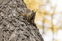 ニホンリス、クルミをくわえて移動 [Sciurus lis,Japanese squirrel,哺乳類,ユーアーコンタグリレス類,脊椎動物,ネズミ目,齧歯目,リス科,動物,リス]