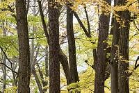 ニホンリス、クルミを食べる [Sciurus lis,Japanese squirrel,哺乳類,ユーアーコンタグリレス類,脊椎動物,ネズミ目,齧歯目,リス科,動物,リス]