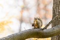 ニホンリス、クルミを持つ [Sciurus lis,Japanese squirrel,哺乳類,ユーアーコンタグリレス類,脊椎動物,ネズミ目,齧歯目,リス科,動物,リス]