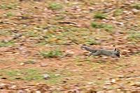 ニホンリス、クルミを持って地上を走る [Sciurus lis,Japanese squirrel,哺乳類,ユーアーコンタグリレス類,脊椎動物,ネズミ目,齧歯目,リス科,動物,リス]