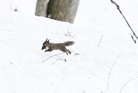 ニホンリス、クルミをくわえて雪の上を走る [Sciurus lis,Japanese squirrel,哺乳類,ユーアーコンタグリレス類,脊椎動物,ネズミ目,齧歯目,リス科,動物,リス]