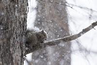 ニホンリス、降雪の中でクルミを食べる [Sciurus lis,Japanese squirrel,哺乳類,ユーアーコンタグリレス類,脊椎動物,ネズミ目,齧歯目,リス科,動物,リス]