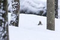 ニホンリス、雪に潜ってクルミを探す [Sciurus lis,Japanese squirrel,哺乳類,ユーアーコンタグリレス類,脊椎動物,ネズミ目,齧歯目,リス科,動物,リス]