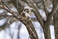 ニホンリス、巣材運び [Sciurus lis,Japanese squirrel,哺乳類,ユーアーコンタグリレス類,脊椎動物,ネズミ目,齧歯目,リス科,動物,リス]