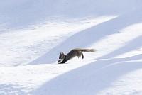 ニホンリス、雪原を走る [Sciurus lis,Japanese squirrel,哺乳類,ユーアーコンタグリレス類,脊椎動物,ネズミ目,齧歯目,リス科,動物,リス]