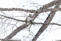 ニホンリス、巣材集め [Sciurus lis,Japanese squirrel,哺乳類,ユーアーコンタグリレス類,脊椎動物,ネズミ目,齧歯目,リス科,動物,リス]