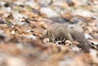 ニホンリス、クルミを探す [Sciurus lis,Japanese squirrel,哺乳類,ユーアーコンタグリレス類,脊椎動物,ネズミ目,齧歯目,リス科,動物,リス]