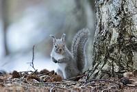 ニホンリス、立ちポーズ [Sciurus lis,Japanese squirrel,哺乳類,ユーアーコンタグリレス類,脊椎動物,ネズミ目,齧歯目,リス科,動物,リス]