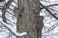 ニホンリス、繁殖期のお見合い [Sciurus lis,Japanese squirrel,哺乳類,ユーアーコンタグリレス類,脊椎動物,ネズミ目,齧歯目,リス科,動物,リス]