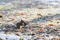 ニホンリス、クルミを掘り当てる [Sciurus lis,Japanese squirrel,哺乳類,ユーアーコンタグリレス類,脊椎動物,ネズミ目,齧歯目,リス科,動物,リス]