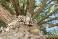 ニホンリス、木を逆さまにおりてくる [Sciurus lis,Japanese squirrel,哺乳類,ユーアーコンタグリレス類,脊椎動物,ネズミ目,齧歯目,リス科,動物,リス]