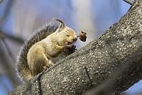 ニホンリス、クルミを食べる、殻を飛ばす [Sciurus lis,Japanese squirrel,哺乳類,ユーアーコンタグリレス類,脊椎動物,ネズミ目,齧歯目,リス科,動物,リス]