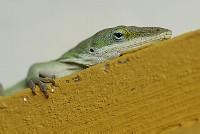 Texas Lizard