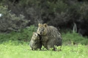 クアッカワラビーの親子 〔brachyurus,Setonix,Quokka,〕 Quokka (Setonix brachyurus) with young, Rottnest Island, We