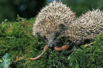 European Hedgehog, erinaceus europaeus, Adults eating Earthworm, Normandy