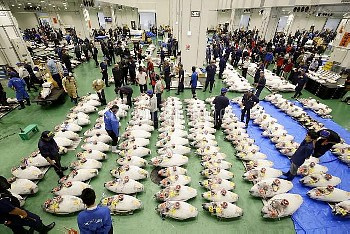 東京・豊洲市場で初競り 競り場のマグロ【要事前申請(TV番組および新聞記事使用不可)】