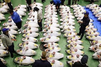東京・豊洲市場で初競り 並べられた多くのマグロ【要事前申請(TV番組および新聞記事使用不可)】