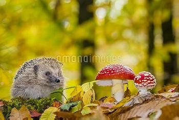 Hérisson d'Europe dans une forêt de feuillus en automne près d'amanites tue-mouche (Erinaceus europa