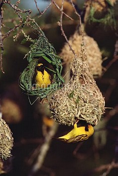 Lesser Masked Weaver (Ploceus intermedius) males building nests, South Africa
