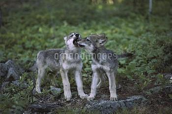 Timber Wolf (Canis lupus) pups play flighting, Minnesota