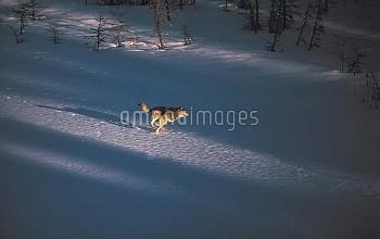 Timber Wolf (Canis lupus) running across frozen Kawishiwi Lake, Minnesota