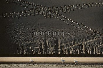Flamingo (Phoenicopterus sp) trio walking in lagoon in front of sand dune, Namibia
