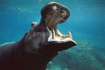 Hippopotamus (Hippopotamus amphibius) swimming submerged in tank, native to Africa