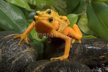 Panamanian Golden Frog (Atelopus zeteki) pair in amplexus, native to Panama