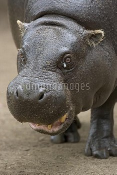Pygmy Hippopotamus (Hexaprotodon liberiensis) portrait, native to West Africa