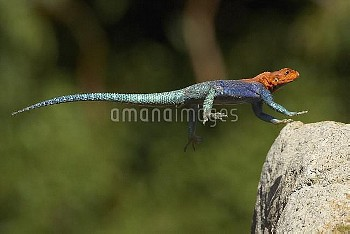 Red-headed Rock Agama (Agama agama) male lizard jumping, native to Africa
