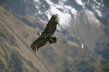 Andean Condor (Vultur gryphus) the largest flying bird with three meter wingspan weighing 11 kg, soa