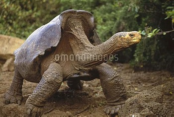 Saddleback Galapagos Tortoise (Chelonoidis nigra hoodensis) mature male, one of only two used for ca