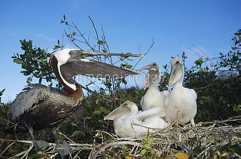 Brown Pelican (Pelecanus occidentalis) three chicks begging for food from freshly returned parent, A